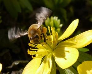Biene von Frank