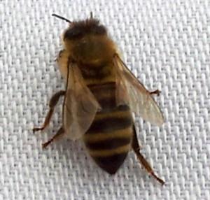 Weltmeister-Bienen