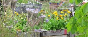 Ringelblume und Johanniskraut – zwei heilende Sonnenpflanzen