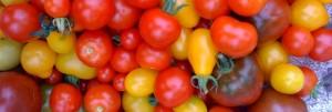 Tomate, Tomate! – der Saatgutworkshop bei o'pflanzt is!