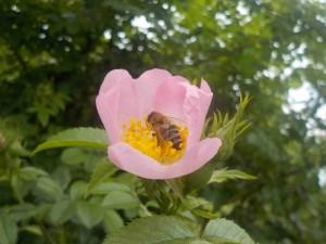 Biene in Rosenblüte