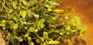 Heilpflanzenkurs im Dezember
