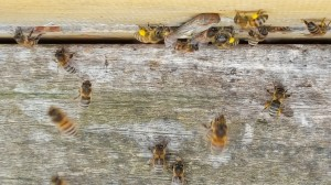 Oster-Bienen